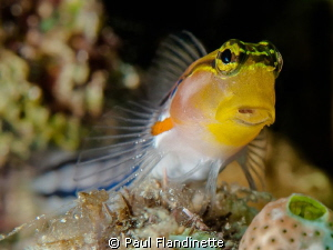 Axelrod's clown blenny; Ecsenius axelrodi, Bunaken Nation... by Paul Flandinette 